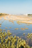 Flooded rice pady — Stock Photo