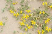 Creta trefoil in blossom — Stock Photo