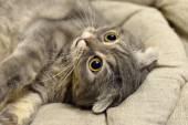 Home cat — Stock Photo