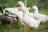 Geese — Stock Photo