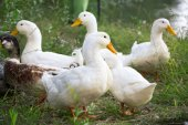Group of domestic geese — Stock Photo