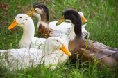 Flock of white and brown geese — Stock Photo