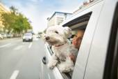 Dog maltese sitting in a car and looking through open window — Stock Photo