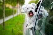 Maltese puppy looking out the car window — Stock Photo