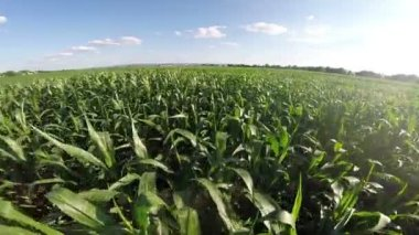 Aerial flight over corn filed — Stock Video