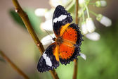 Butterfly with open wings — Stock Photo
