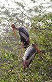 Couple of Marabou perched on the top of a tree — Stock Photo