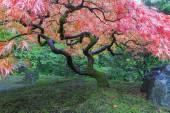 Old Maple Tree at Japanese Garden — Stock Photo