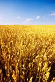 Ripe wheat in summer — Stock Photo