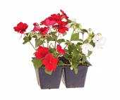 Red- and white-flowered impatiens seedlings ready for transplant — Stock Photo