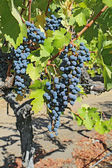 Grapes on the vine in the Napa Valley of California vertical — Foto de Stock