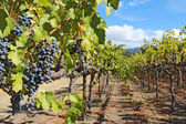 Grapes on the vine in the Napa Valley of California — Stock Photo