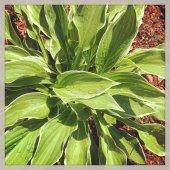 Planta de Hosta — Foto de Stock