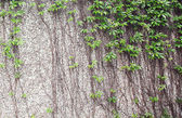 Vines growing on a rock wall - Abstract grunge — Stock Photo