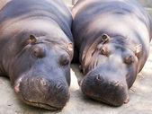 Two Hippo — Stock Photo