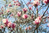 Magnolia flowers blooming — Stock Photo