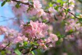 Pretty pink cherry branch — Stock Photo