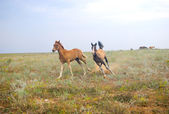 Running horses in the field — Stock Photo