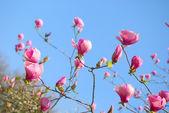 Magnolia flowers blossom  — Stock Photo