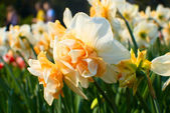 Beautiful yellow narcissus  — Stock Photo