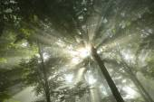Sunbeams fall into misty forest — Stock Photo