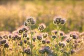 Flowering herbs in the field at dawn — Stock Photo