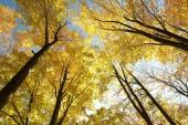 Autumn beech trees — Stock Photo