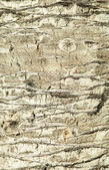 Palm bark texture — Stock Photo