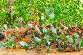 Wild cactus flowers — Stock Photo