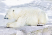 Polar white  bear in his  natural habitat. — Stockfoto