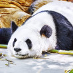 Sleeping panda in its natural habitat. — Stock Photo #76223673
