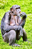 Apes - Chimpanzee monkey. — Stock Photo