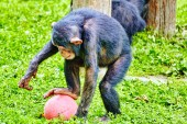 Apes - Chimpanzee monkey. — Stock Photo