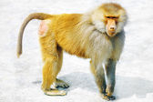 Hamadryas Baboon monkey. — Stock Photo