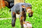 Обезьян - обезьяны шимпанзе. — Стоковое фото