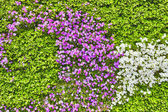 Abstract background of flowers (petunia ). Close-up. — Stock Photo