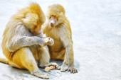 Hamadryas Baboon monkey. — Stock Photo
