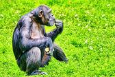 Opice - opice šimpanz. — Stock fotografie