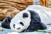Sleeping panda in its natural habitat. — Stock Photo
