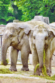 Large Indian elephants. — Stock Photo
