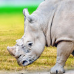 Rhino / rhinoceros grazing on nature. — Stock Photo #81374556