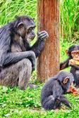 Family of Apes - Chimpanzee monkey. — Stock Photo