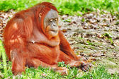 Orang Utan. — Stock Photo