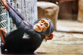 Baby Apes Chimpanzee monkey. — Stock Photo