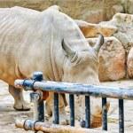 Rhino / rhinoceros grazing on nature. — Stock Photo #82134136