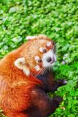 Cute Red Panda. — Stock Photo