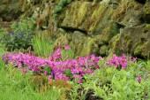 Primula cultivar — Stock Photo