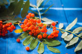 Autumnal background rowan fruits blue wooden board — Stock Photo