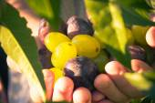 Fruits hands plums grapes light sun — Stock Photo