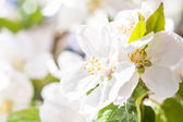 Spring garden closeup flowers blooming cherry trees — Stock Photo